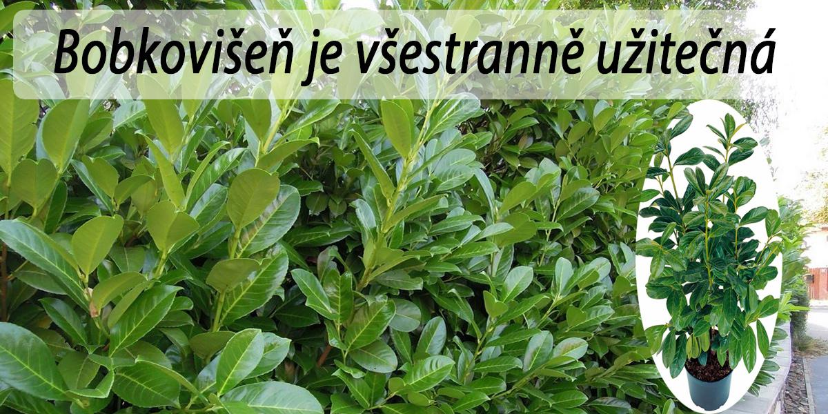 Bobkovišeň: Pěstování a množení